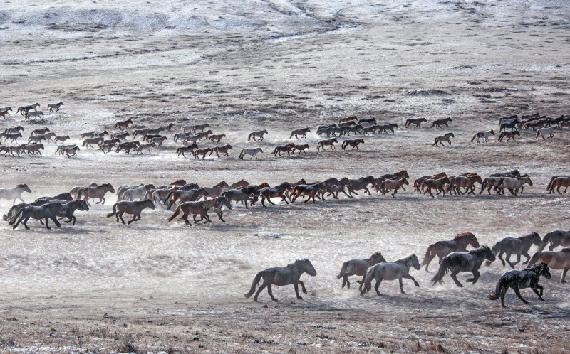 Many horses in the east Mongolia
