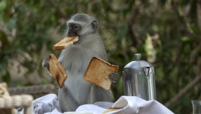The monkey gets himself several pieces