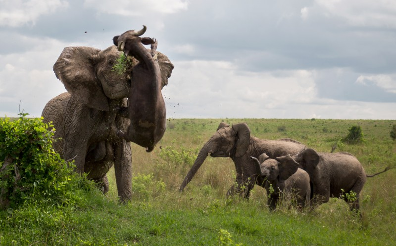 The elephant tossing the buffalo into the air