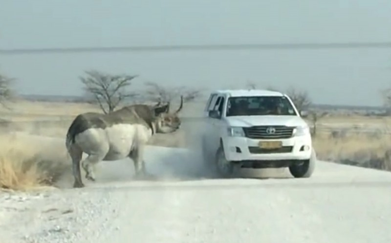 The Rhino kicking up dust as it thinks about its next charge