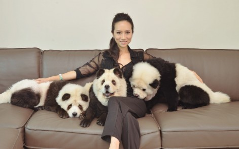 Three adorable dogs have become an online hit -thanks to their unusual panda-like markings. The three Chow Chows first came to the attention of the online masses after a video of them strolling through Singapore with their owner, Meng Jiang, was posted online - with many people initially mistaking them for the endangered animals. The adorable pups - named Tudou, a male, YuMi and DouDou, both sisters  - are pure white Chow Chows, with distinct black dye added to their fur to give them an uncanny resemblance to Pandas. SEE CATERS COPY.