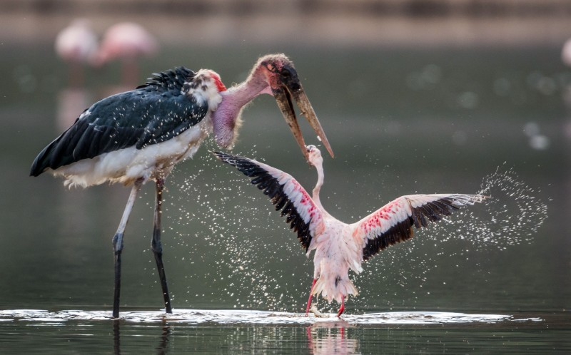 The stork starts to attack the marabou