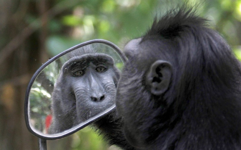 A Sulawesi black monkey getting a close up in the mirror