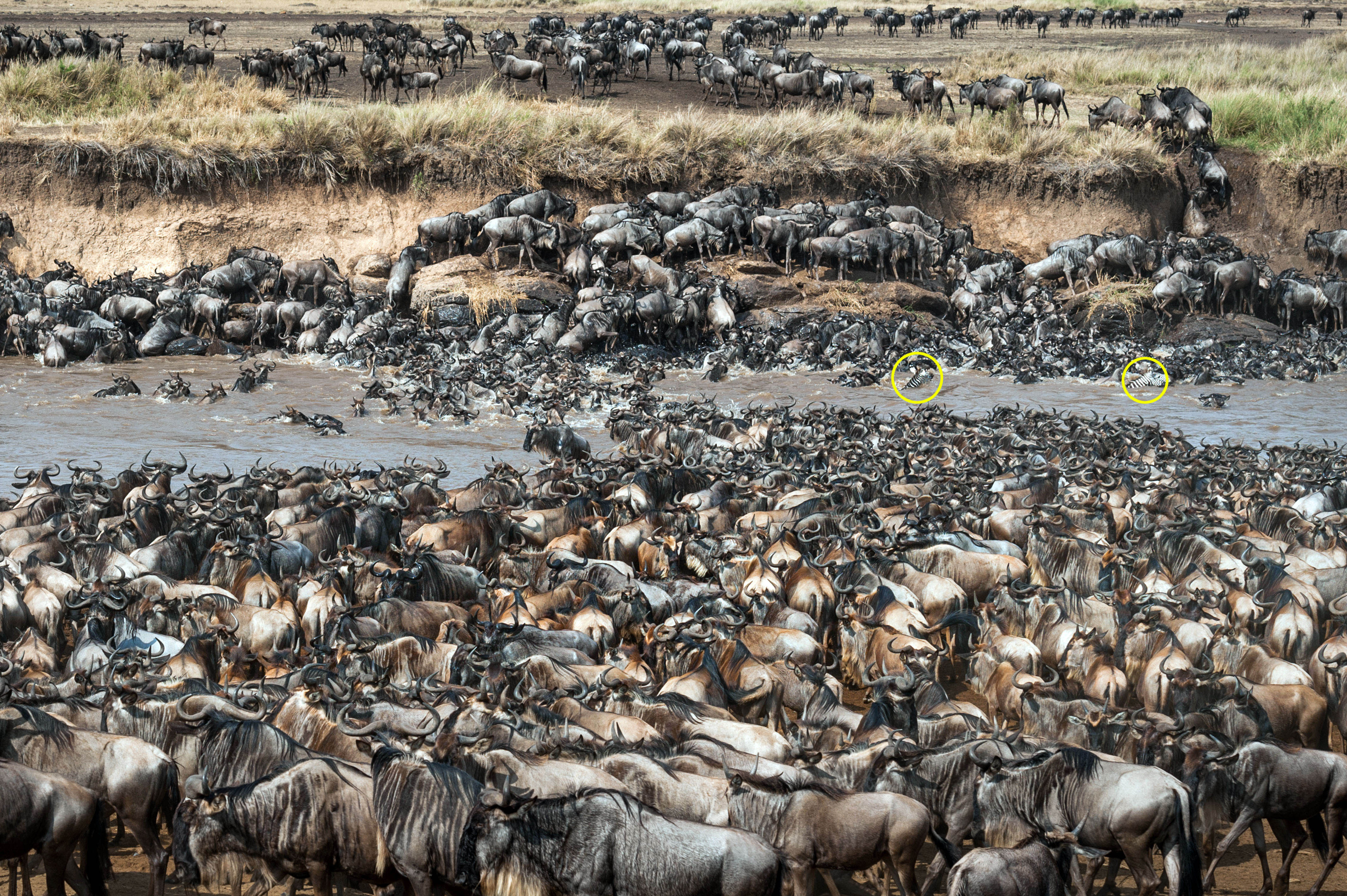 Can You Spot The Zebra Lurking In This Huge Herd Of