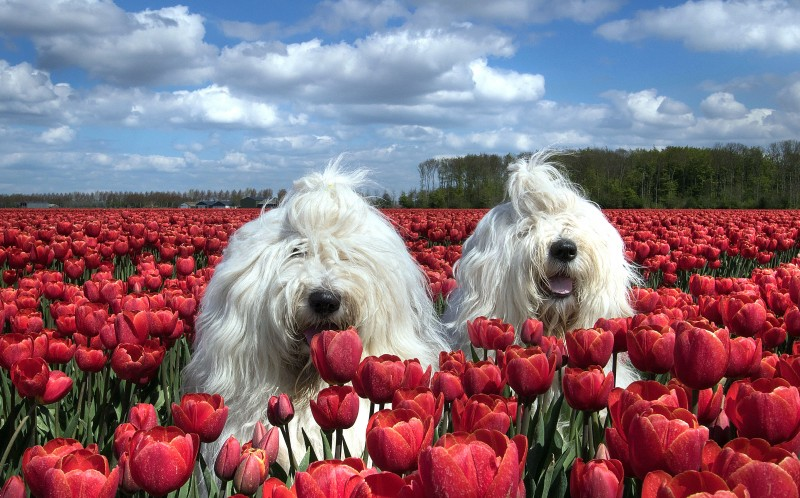Sophie and Sarah, the sheepdog sisters in a field of flowers.