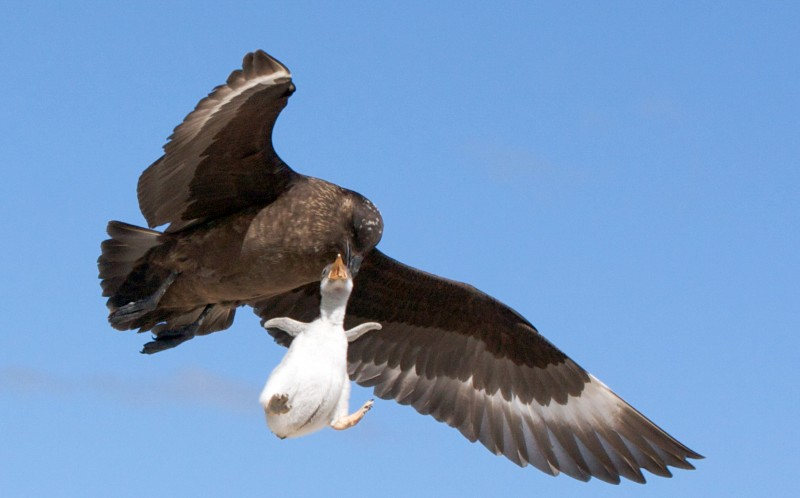 The Skua flies away with the Penguin chick in its beak