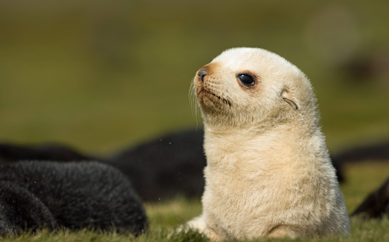 Rare blonde fur seal photographed on South Georgia Islands