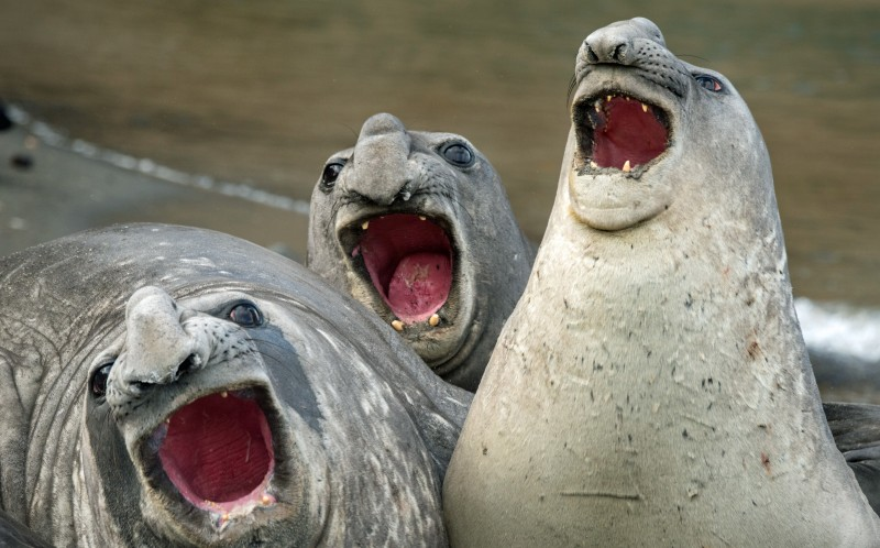 Three elephant seals that appear to be sining, doing their best impression of the Three Tenors