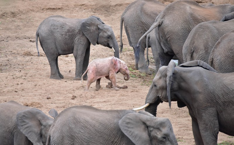 The adorable baby pink elephant with its herd