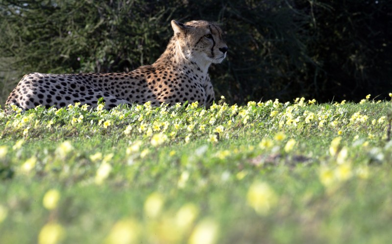 A cheetah lays in the sunlight