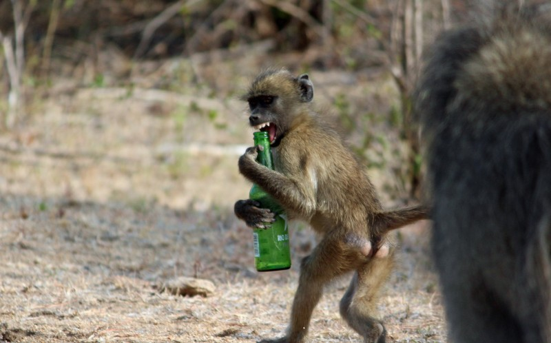 A cheeky baboon clings to a beer bottle in Kruger National Park