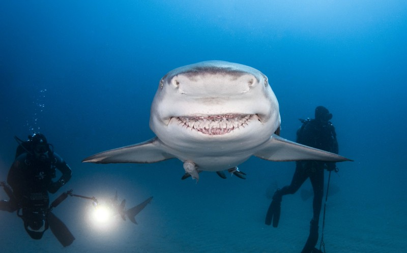 The smiling lemon shark