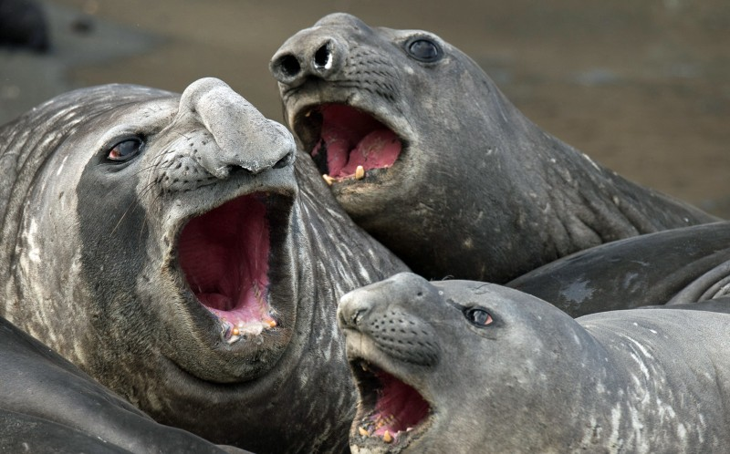 Three elephant seals that appear to be singing
