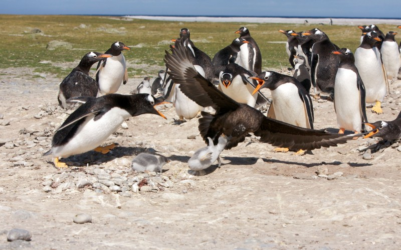 The Skua snatches the bird from its group as the adults panic