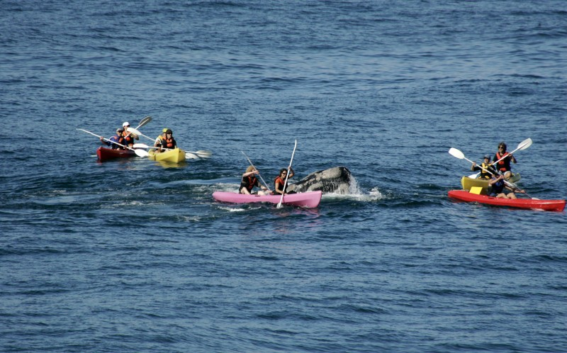 A whale surfaces right under a Kayak