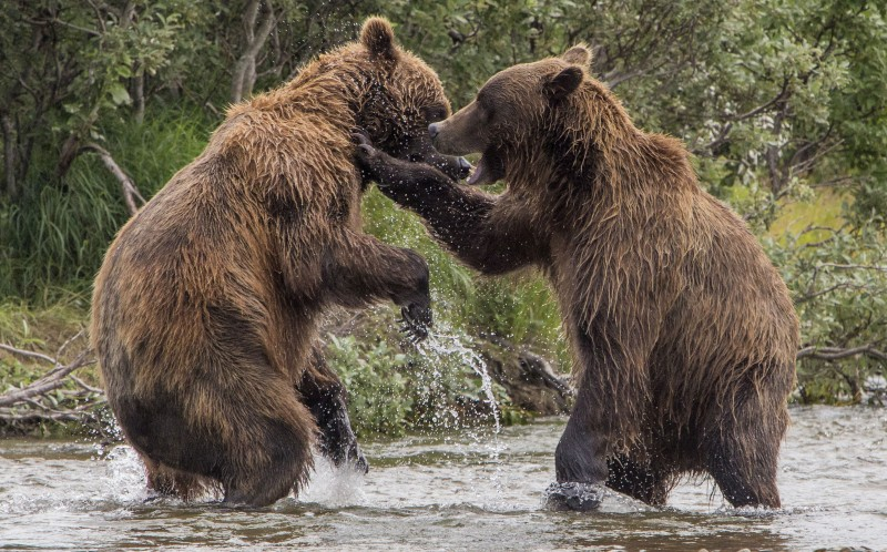 The bears shaking hands