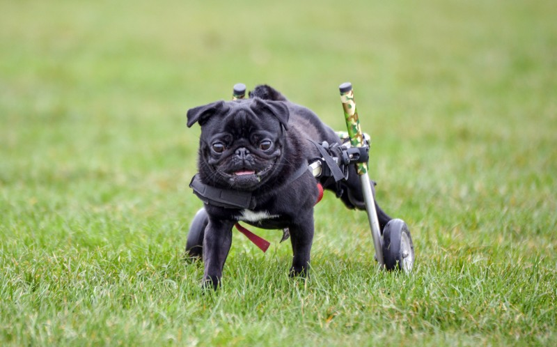 Gus enjoying a run around in the park using his wheelchair