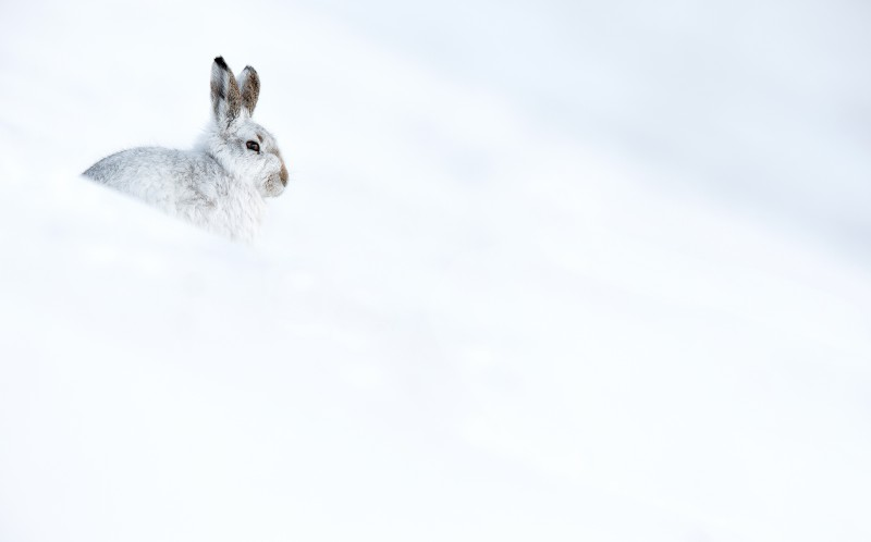 The snowy hare