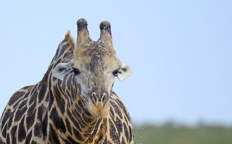 The giraffe appears to sneeze whilst drinking from a watering hole soaking an oxpecker in the process
