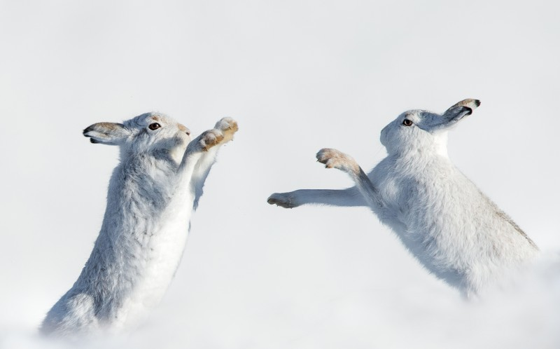 Two playing hares