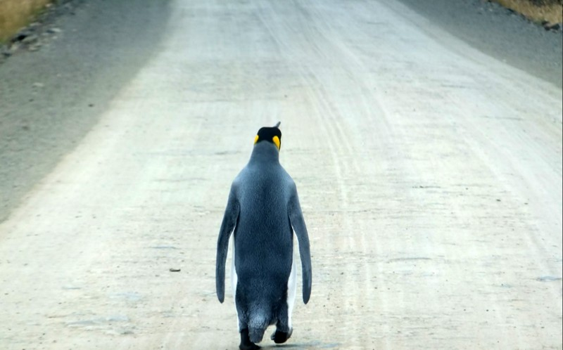A lost penguin appears to want to hitch a ride