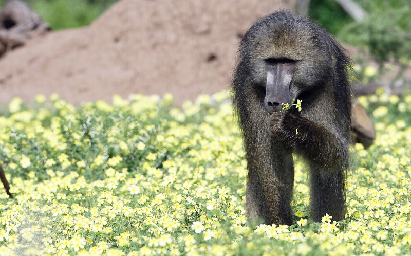 A primate sniffs the yellow flowers