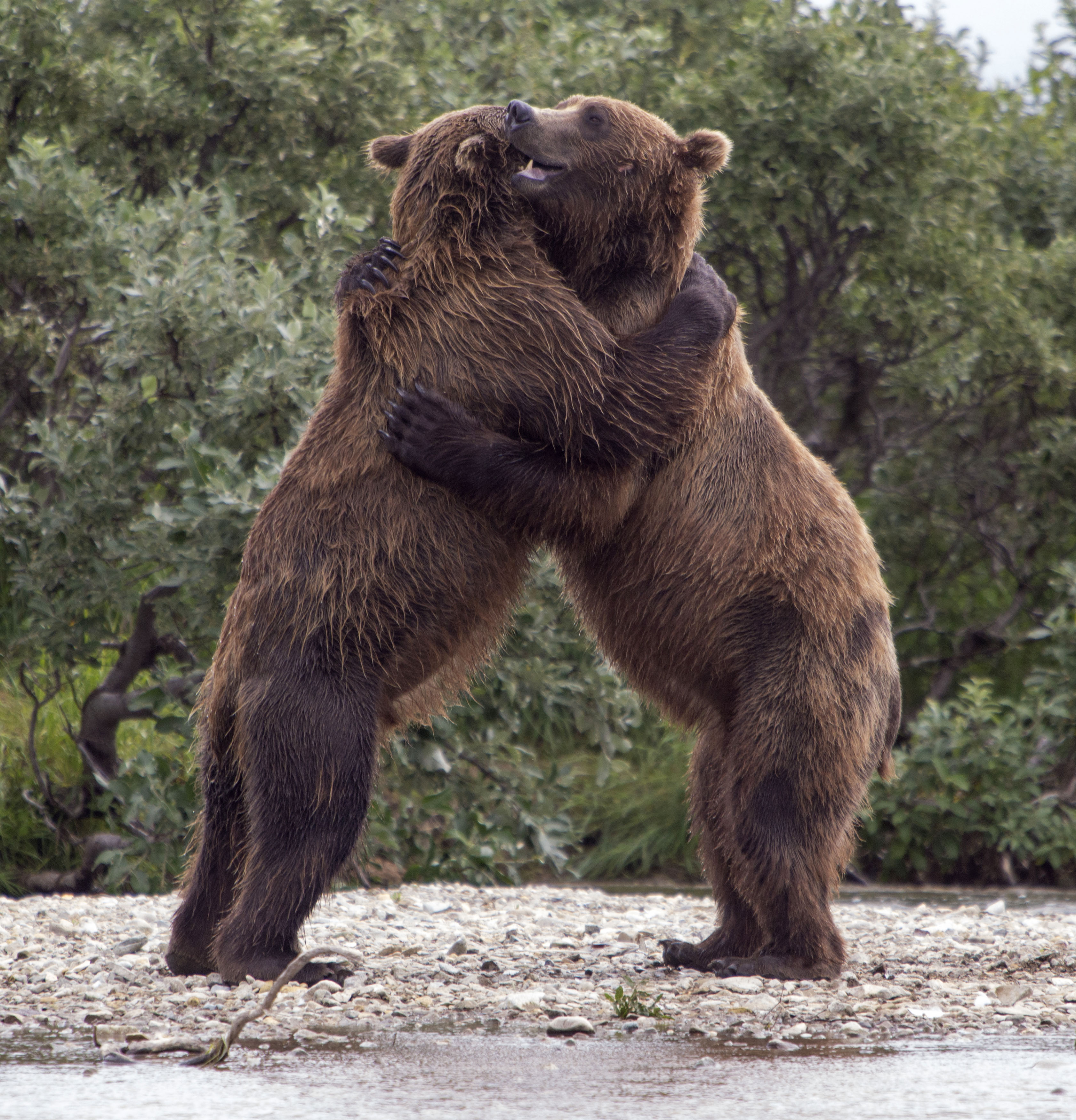 Gibe Me A Bear Hug! Incredible Pictures Show Two Beary