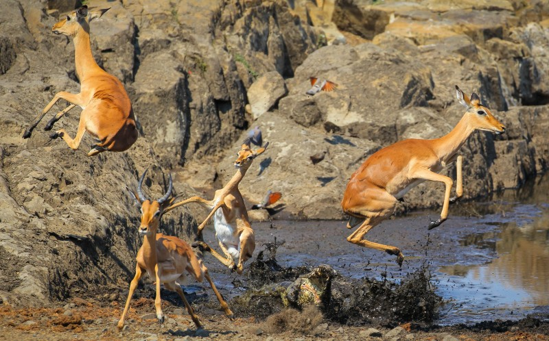 The crocodile lunges explosively sending the impalas jumping scared in all directions.