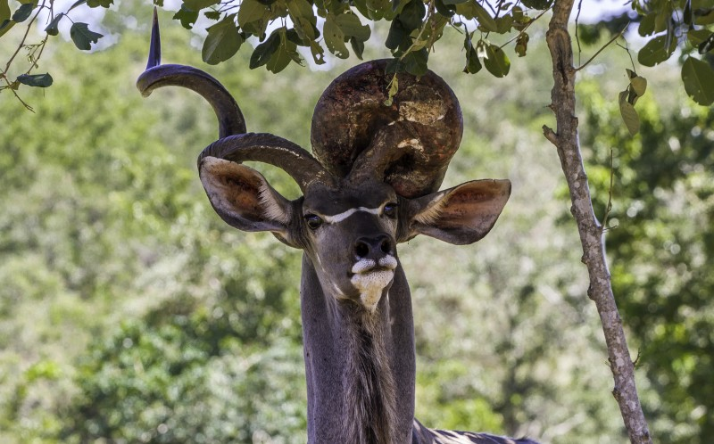 A kudu with an unusual growth on its horn