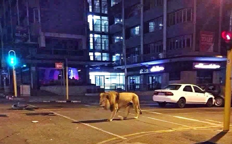 Columbus, the lion, taking a stroll through the streets of Johannesburg