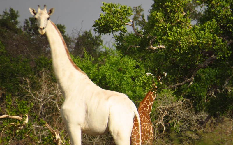A white giraffe spotted in the African bush