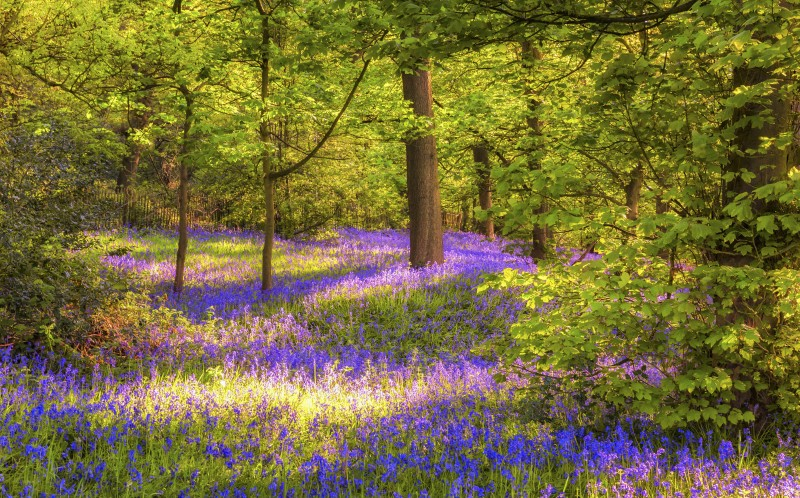 Bluebells in the Lickey Hills
