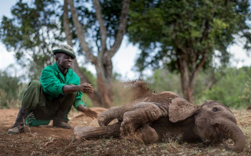 One of the carers at the David Sheldrick Wildlife Trust playing with the elephants