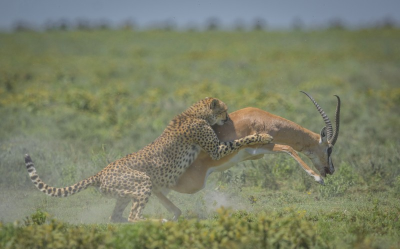 The cheetah tries to hold on to the Gazelle