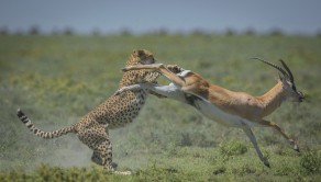 PIC BY WIM VAN DEN HEEVER / CATERS NEWS - (PICTURED: 16 of 18. The Gazelle kicks off the hungry cheetah.) This is the moment a gazelle made a lucky escape after it almost became dinner for a hungry cheetah. The cheeky cheetah spotted the Grants Gazelle roaming the plains of in Ndutu, Tanzania and quickly eyed it up for his next meal. As these dramatic images show the cheetah stalked the gazelle before it pounced and attempted to tackle it to the ground. But it appeared the cheetah had met his match and a fierce fight ensued as the gazelle bravely fought for its life. - SEE CATERS COPY