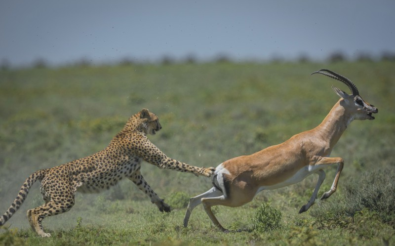 The Gazelle kicks off the hungry cheetah