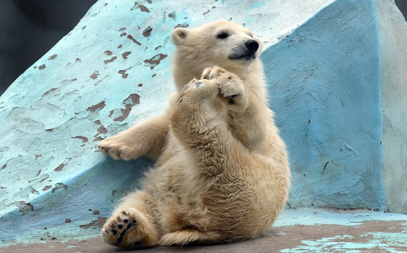A flexible polar bear performing some yoga moves