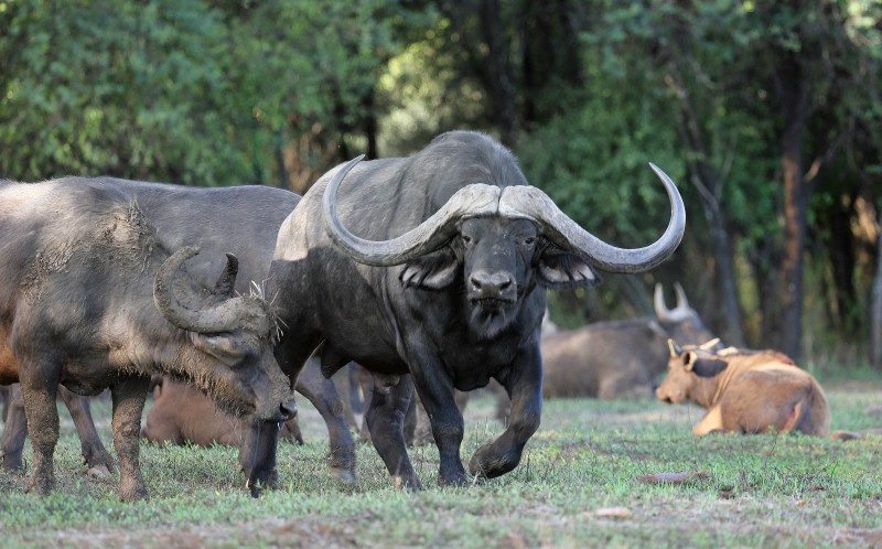 The most expensive Buffalo
