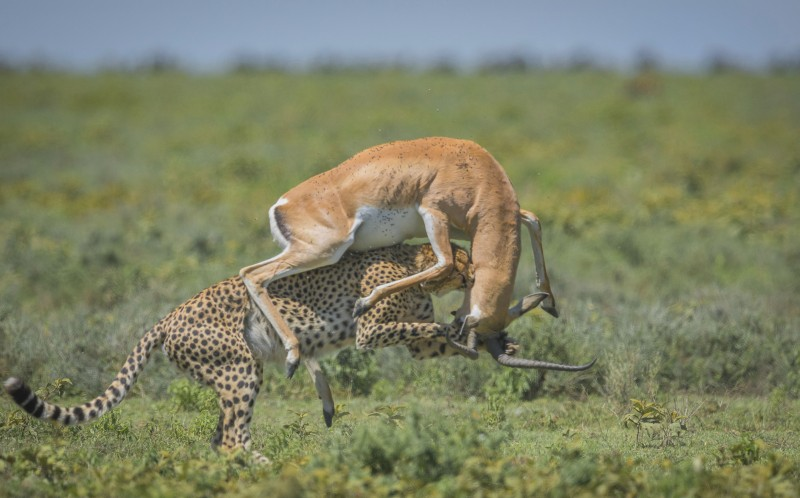 The cheetah bites the Gazelles neck as the Gazelle is thrust into the air