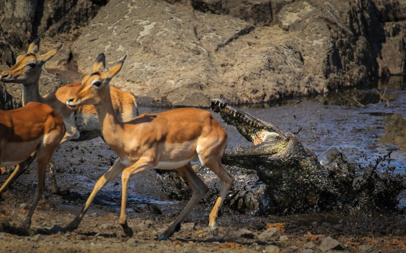 The crocodile lunges at the terrified impalas