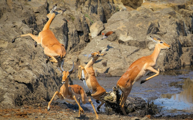 The flying impalas