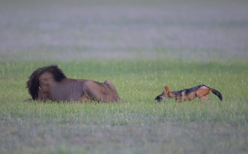 The Jackal sneaks up behind the lion and bites his tail