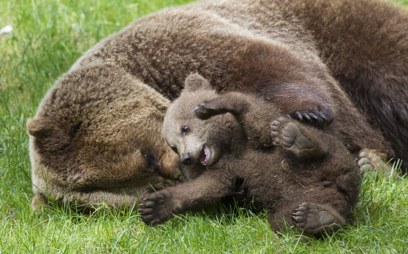 European Brown Bear ~ female plays with a cub ~ Sweden
