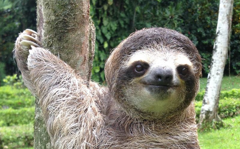 A sloth from the Sloth Sanctuary