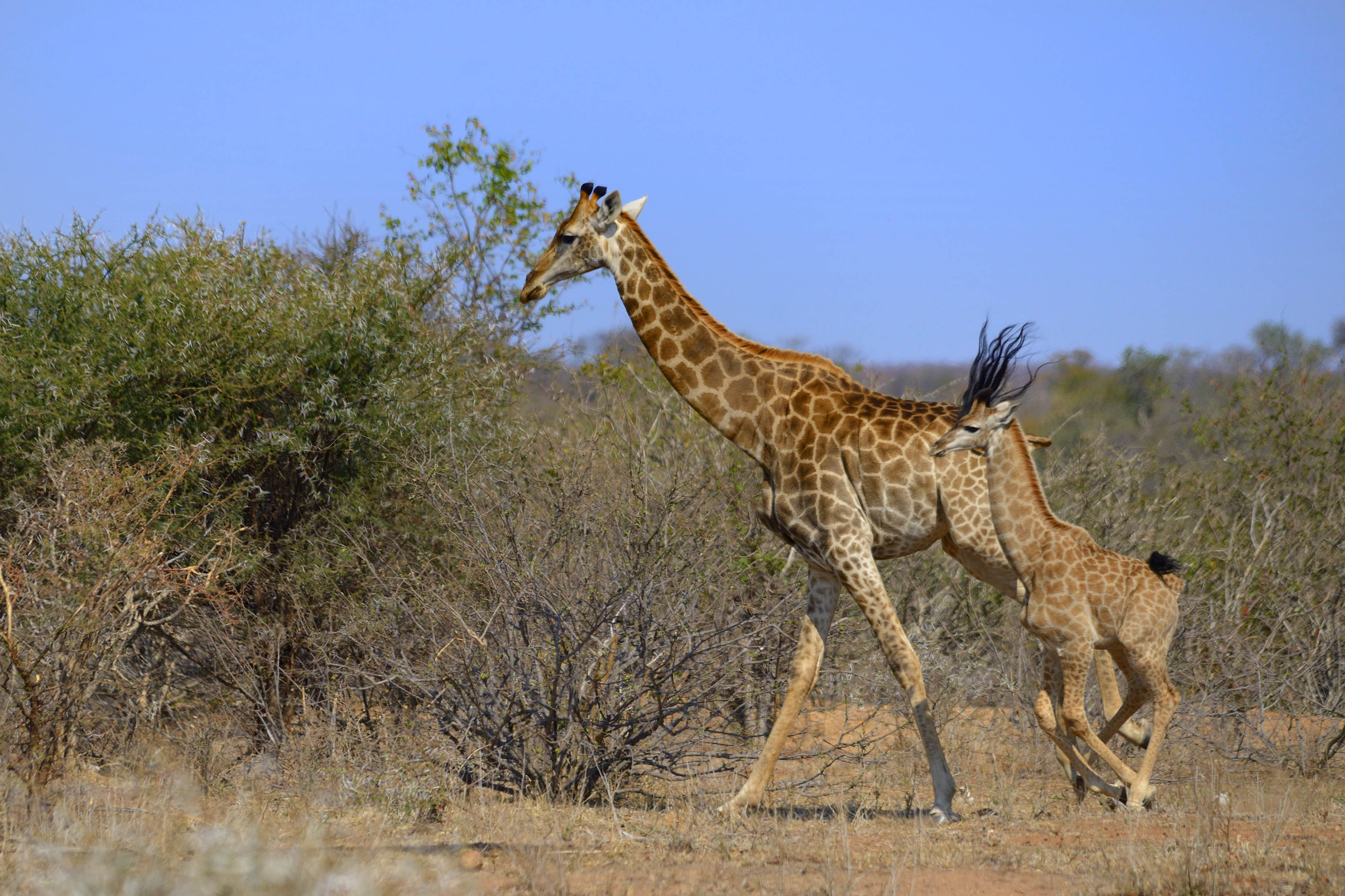 giraf fro funny pictures of giraffe sporting long black hair
