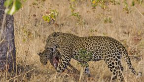 The Leopard carries the cub into the tree to eat