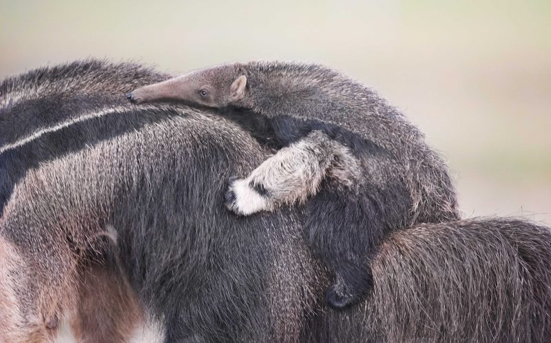 A newborn anteater hitching a ride on its mums back