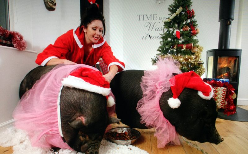 The pigs and Janey Byrne, their owner, on Christmas