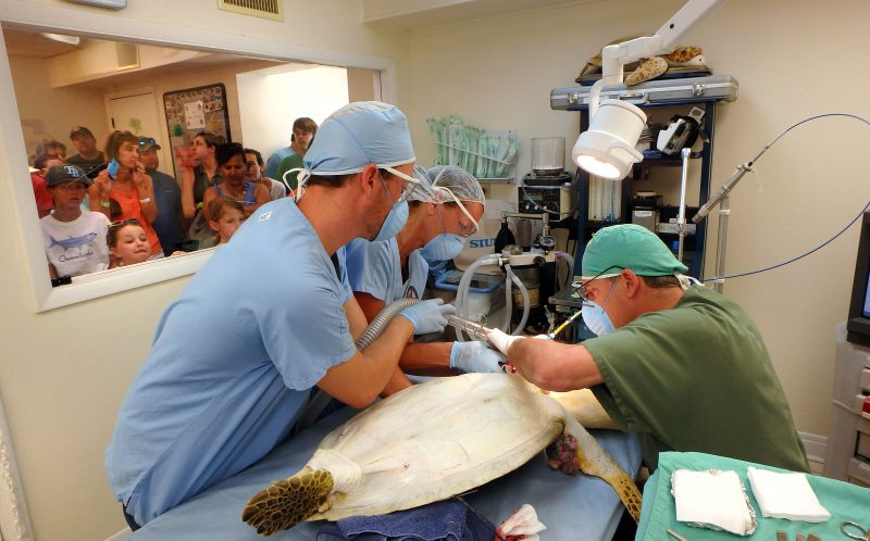 Chica the sea turtle undergoes surgery to remove the tumour from the surgical team