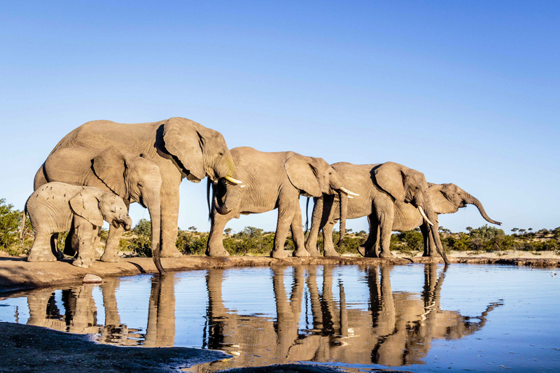 A line of elephants stand at the edge of a pool of water.